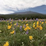  Bighorn alpine meadow