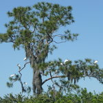 Wood storks in the tree