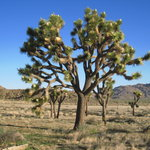  A nearby Joshua Tree in park