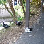  Muscovy Ducks at Waiakea Villas
