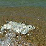  dead turtle washed up on beach with no shell