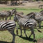  More Zebras!