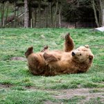 This bear was tring to be cute for a male bear and was rolling around like a cat