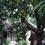 Fruit laden jackfruit tree
