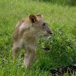 Lion on walk