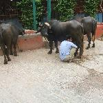 water buffalo in courtyard