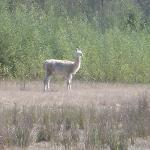  wild llama near the hotel