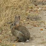 Local rabbit (not our dinner)