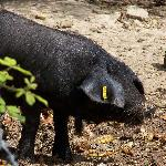  Die berhmten Schwarzen Schweine von Mallorca -