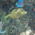 Honeycomb trunkfish