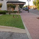 Greenville Inn & Suites - Ducks on the Lawn