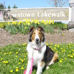 My sheltie Halo loves walking the lake walk with me.