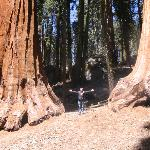 A pair of Sequoia on Crescent Meadow loop