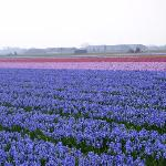 Hyacinth Fields in the North