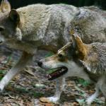 The male and female red wolves