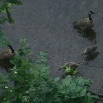 Geese and Ducks below balcony