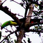 Keel billed Toucan at Sierra Llorona