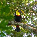 Chestnut mandibled Toucan at lodge