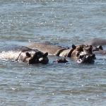 Hippos (just in front of room)
