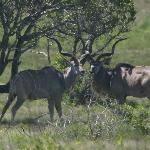  Kudu male