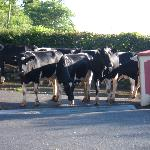 Cows going home after being milked