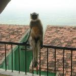 monkey visitor to our balcony
