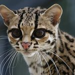 Margay at EFBC