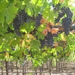 Beautiful Grape Vines