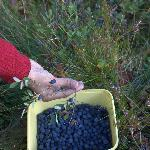 Blueberries picking near the Hostel