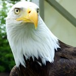 Alaska the bald eagle