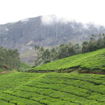 Tea Gardens