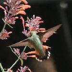  Rufous Hummer