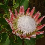 One of many varieties of Protea they grow