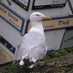  Seagull outside your window!