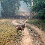 A male spotted deer with new antlers poses for the camera