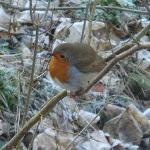 Our New Year Robin!