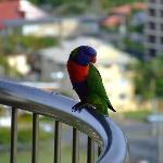  Lorikeet bird on the balcony