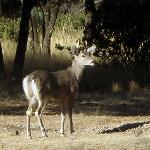 Coues deer outside our room