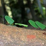 Leaf Cutter Ants -  Do not eat the leaves, but eat the fungus the leaves generate