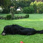 Bo, the Flatcoat Retriever, in the Manor's lovely garden