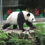The Panda at Sever Star Park