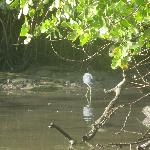 Blue heron in Caroni Swamp