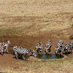 Zebra at water hole below pool