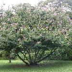  Entire orchid tree in bloom at Botanical Gardens