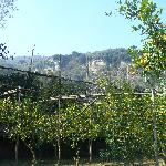 View behind the cottage showing orange and lemon groves