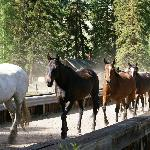 Horses on the bridge over the Hoback River