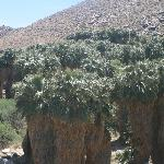 Palm trees at Indian Canyons