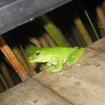 Hoppy the tree frog