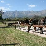  caballos peruanos de paso