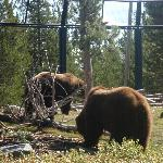 visit the Grizzley/Wolf discovery center,W.Yellowstone